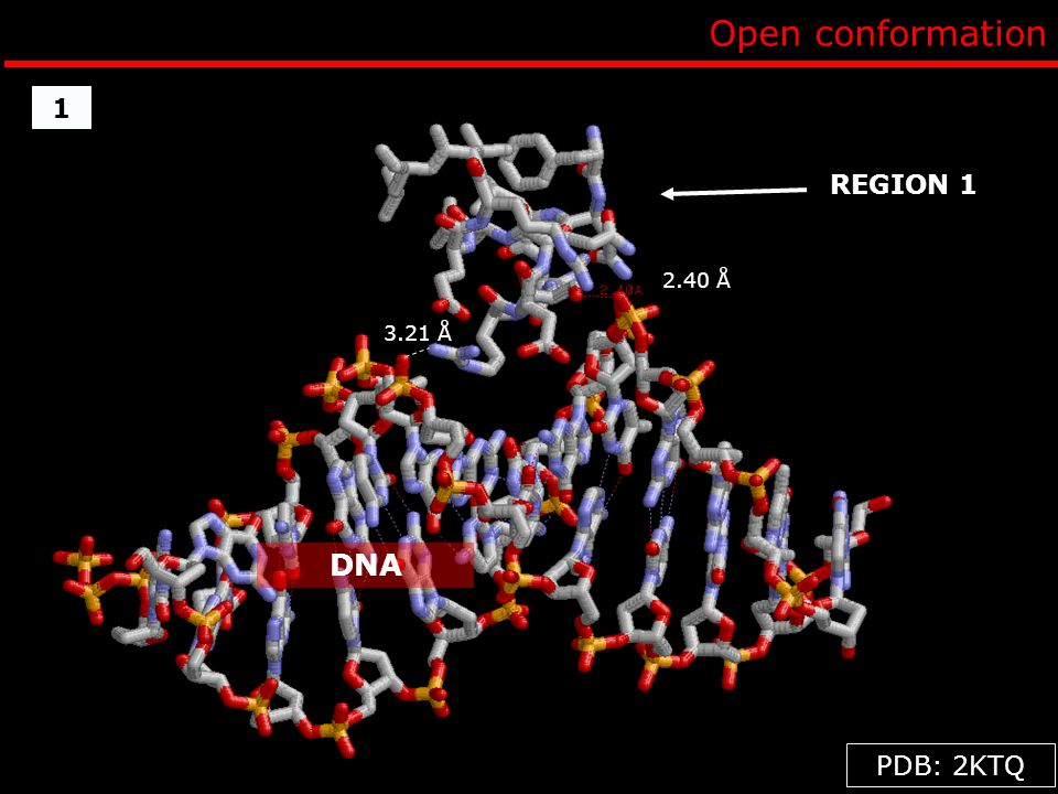Open conformation 3.21 Å 2.40 Å PDB: 2KTQ REGION 1 DNA 1