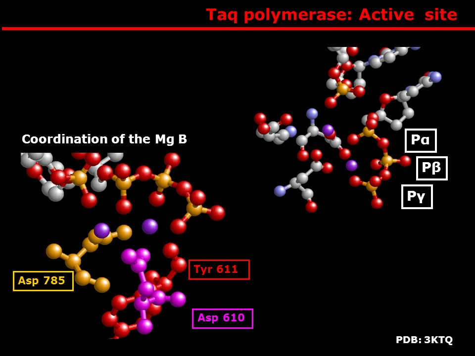 Taq polymerase: Active site PαPα PβPβ PγPγ Coordination of the Mg B Asp 610 Asp 785 Tyr 611 PDB: 3KTQ
