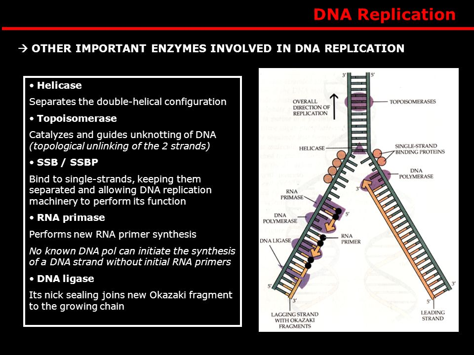 DNA Replication Helicase Separates the double-helical configuration Topoisomerase Catalyzes and guides unknotting of DNA (topological unlinking of the 2 strands) SSB / SSBP Bind to single-strands, keeping them separated and allowing DNA replication machinery to perform its function RNA primase Performs new RNA primer synthesis No known DNA pol can initiate the synthesis of a DNA strand without initial RNA primers DNA ligase Its nick sealing joins new Okazaki fragment to the growing chain OTHER IMPORTANT ENZYMES INVOLVED IN DNA REPLICATION