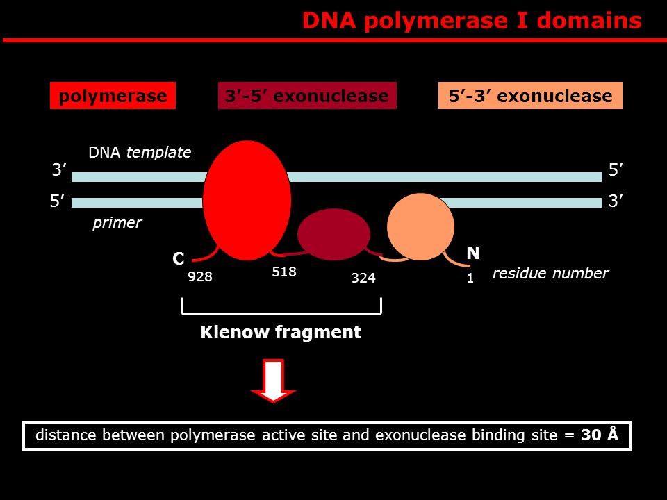 DNA polymerase I functions POLYMERASE REACTION T 3 5 primer strand -OH T T TT A 5 template strand AAA A A A A 3 A T TTT -OH 5 3 C 3 AAAAA A A A 5 A It catalyzes stepwise addition of a deoxyribonucleotide to 3-OH end of the primer strand that is paired to a second template strand The new strand grows in 5-3 direction Each incoming deoxyribonucleoside triphosphate must pair with the template strand to be recognized by pol this strand determines which deoxyribonucleotide will be added