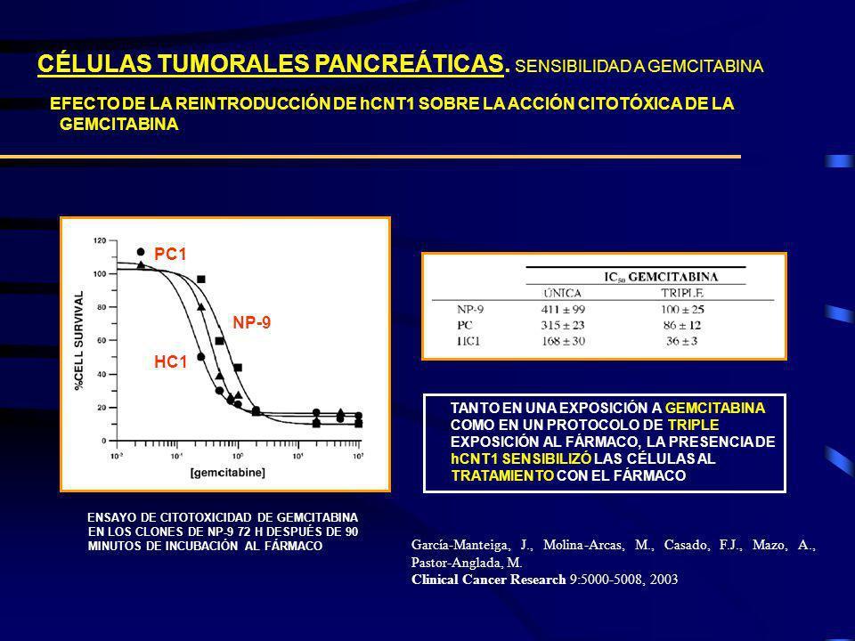CÉLULAS TUMORALES PANCREÁTICAS. SENSIBILIDAD A GEMCITABINA EFECTO DE LA REINTRODUCCIÓN DE hCNT1 SOBRE LA ACCIÓN CITOTÓXICA DE LA GEMCITABINA HC1 NP-9