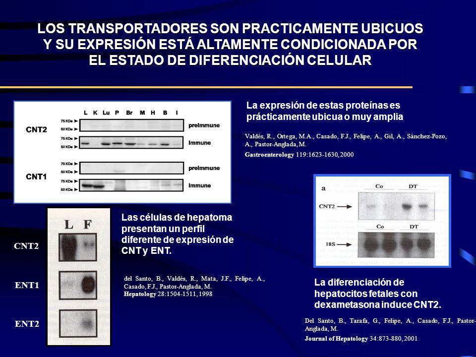 LOS TRANSPORTADORES SON PRACTICAMENTE UBICUOS Y SU EXPRESIÓN ESTÁ ALTAMENTE CONDICIONADA POR EL ESTADO DE DIFERENCIACIÓN CELULAR Las células de hepato