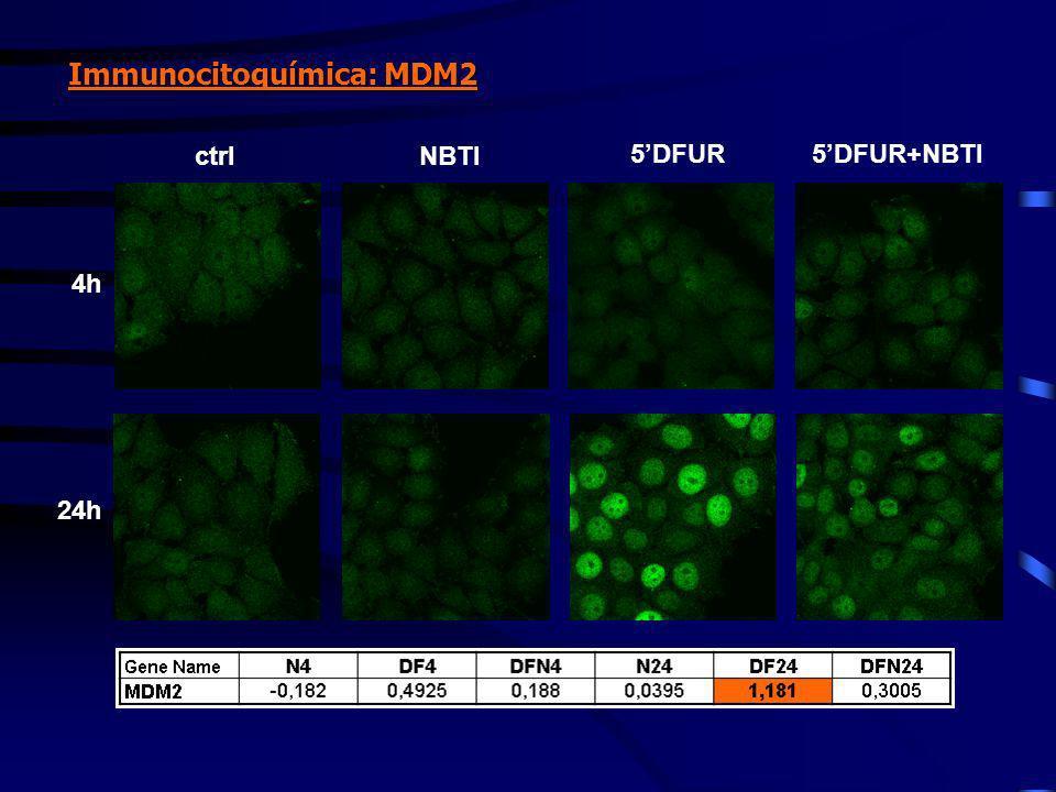 4h 24h ctrlNBTI 5DFUR5DFUR+NBTI Immunocitoquímica: MDM2