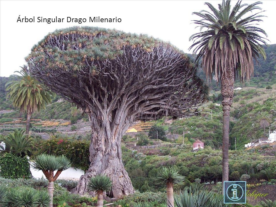 c Árbol Singular Drago Milenario