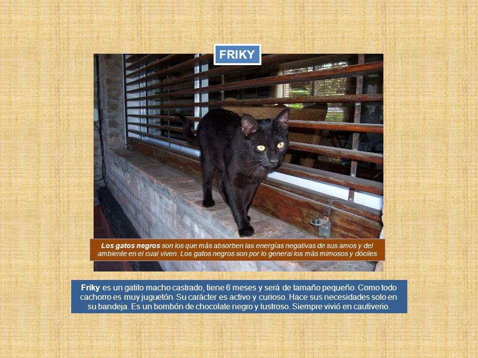 Friky es un gatito macho castrado, tiene 6 meses y será de tamaño pequeño. Como todo cachorro es muy juguetón. Su carácter es activo y curioso. Hace s