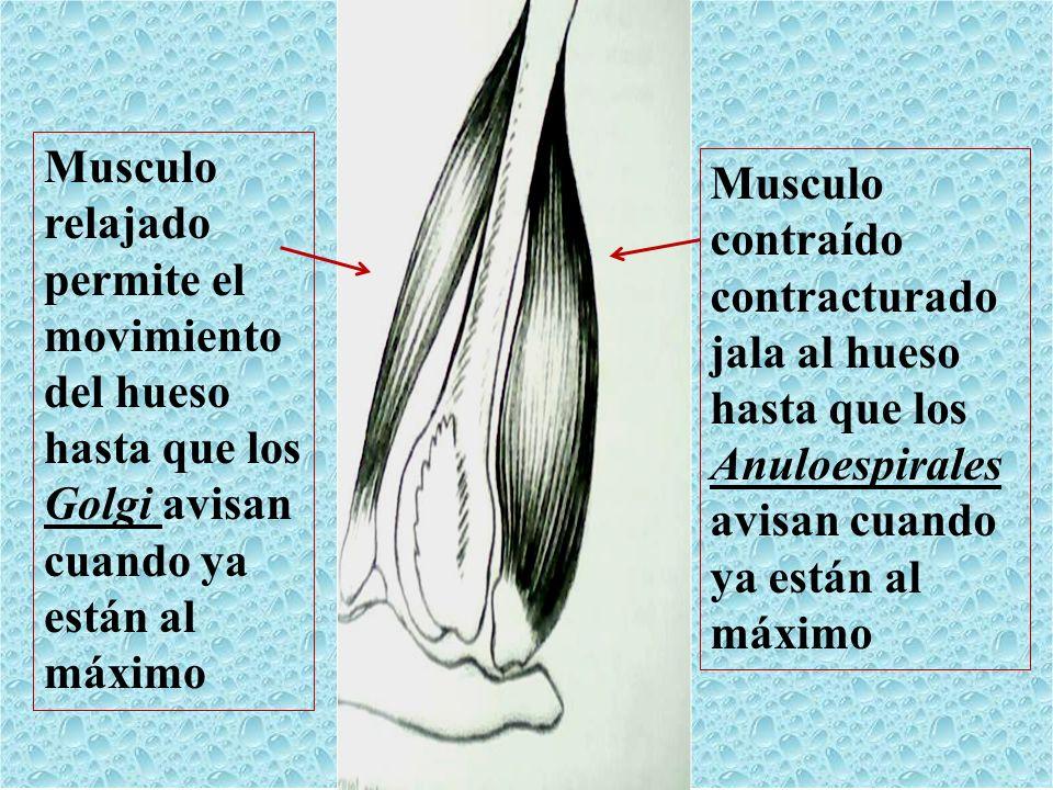 Musculo relajado permite el movimiento del hueso hasta que los Golgi avisan cuando ya están al máximo Musculo contraído contracturado jala al hueso ha