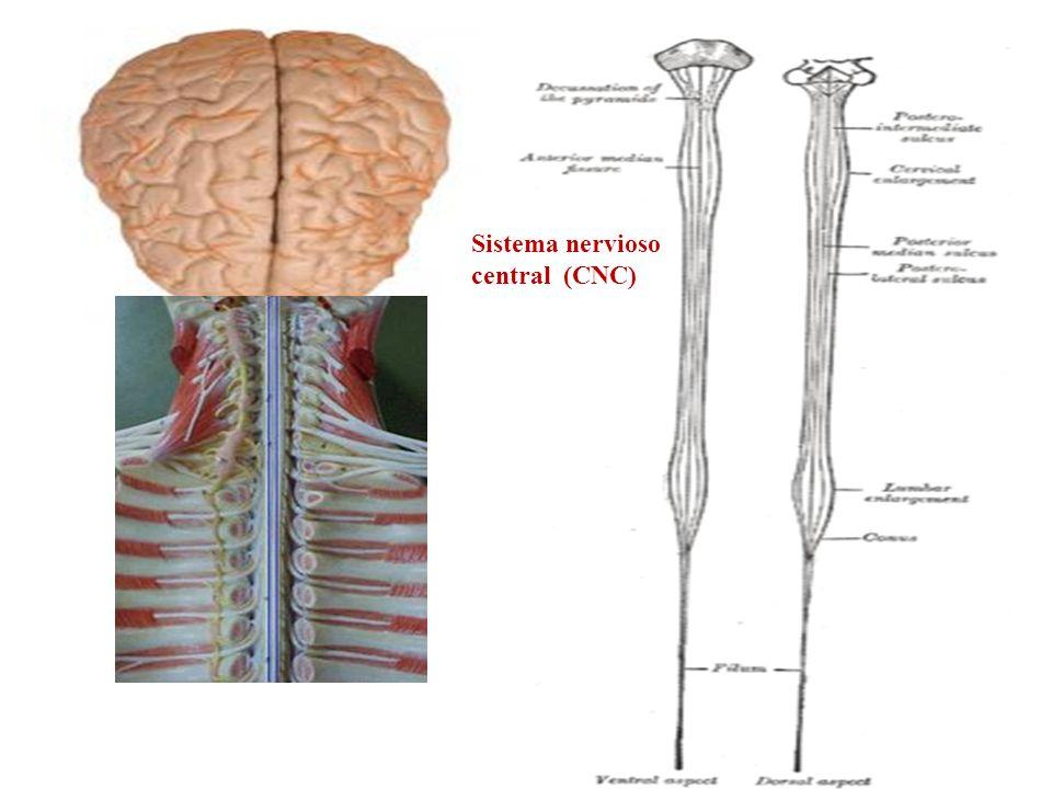 Sistema nervioso central (CNC)