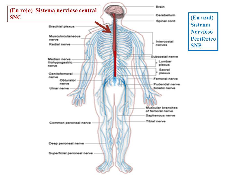 (En rojo) Sistema nervioso central SNC (En azul) Sistema Nervioso Periférico SNP.