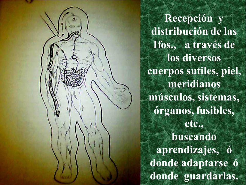 Recepción y distribución de las Ifos., a través de los diversos cuerpos sutiles, piel, meridianos músculos, sistemas, órganos, fusibles, etc., buscand