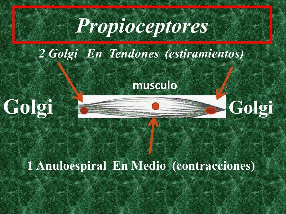 Propioceptores 2 Golgi En Tendones (estiramientos) musculo Golgi 1 Anuloespiral En Medio (contracciones)