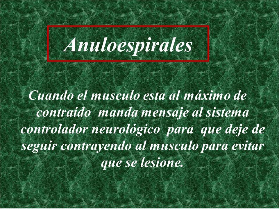 Anuloespirales Cuando el musculo esta al máximo de contraído manda mensaje al sistema controlador neurológico para que deje de seguir contrayendo al m