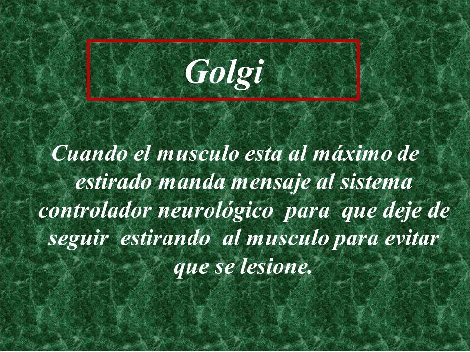 Golgi Cuando el musculo esta al máximo de estirado manda mensaje al sistema controlador neurológico para que deje de seguir estirando al musculo para