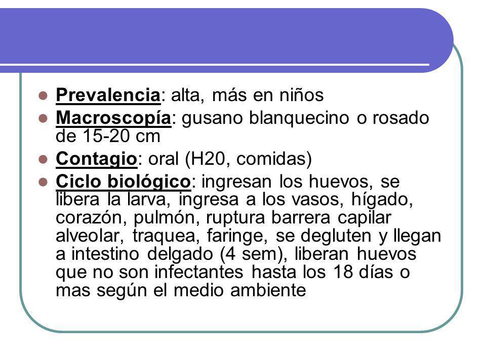 Prevalencia: alta, más en niños Macroscopía: gusano blanquecino o rosado de 15-20 cm Contagio: oral (H20, comidas) Ciclo biológico: ingresan los huevos, se libera la larva, ingresa a los vasos, hígado, corazón, pulmón, ruptura barrera capilar alveolar, traquea, faringe, se degluten y llegan a intestino delgado (4 sem), liberan huevos que no son infectantes hasta los 18 días o mas según el medio ambiente