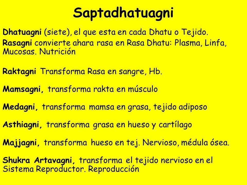 Saptadhatuagni Dhatuagni (siete), el que esta en cada Dhatu o Tejido. Rasagni convierte ahara rasa en Rasa Dhatu: Plasma, Linfa, Mucosas. Nutrición Ra