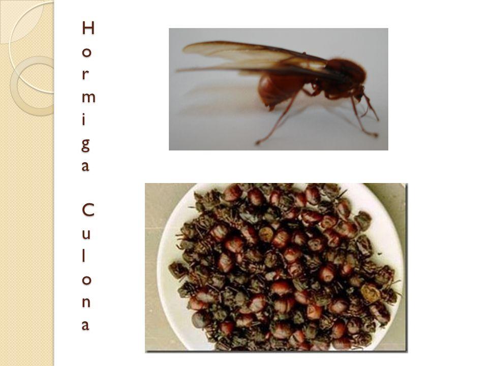 Hormiga CulonaHormiga CulonaHormiga CulonaHormiga Culona