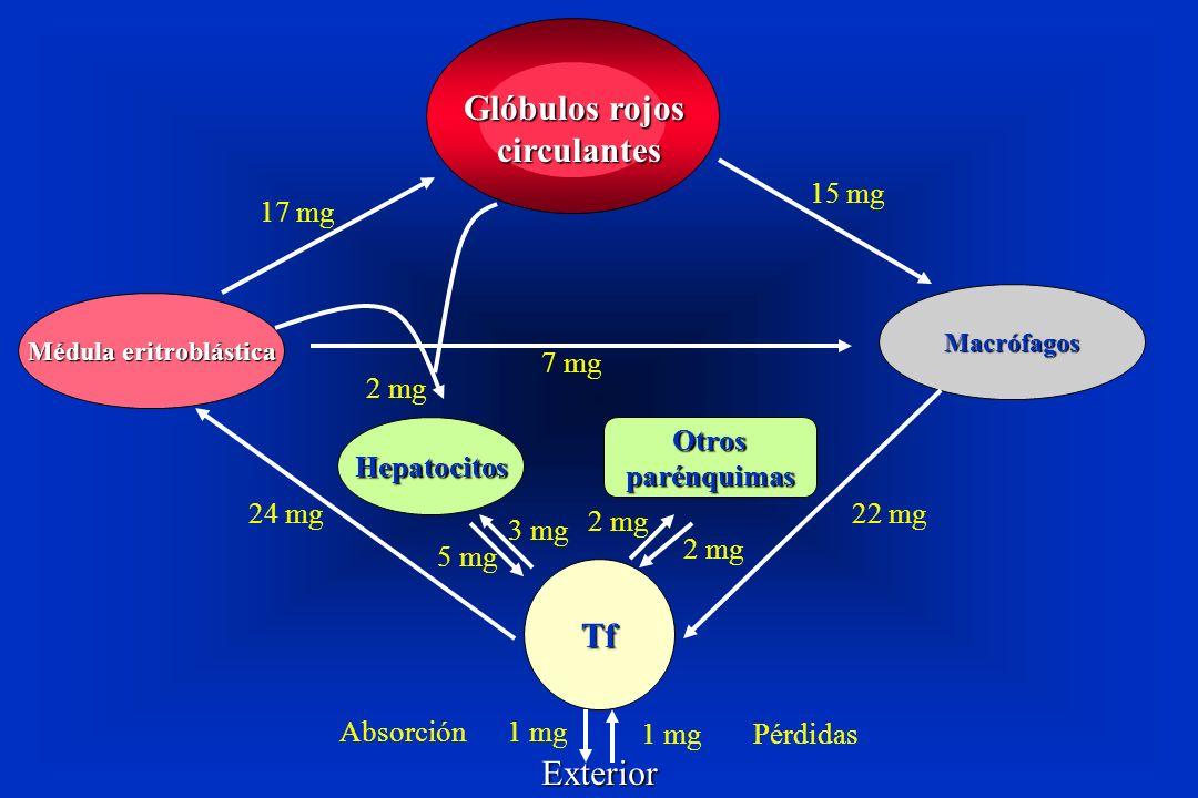 Glóbulos rojos circulantes Médula eritroblástica Macrófagos Tf HepatocitosOtrosparénquimas Exterior 1 mg Pérdidas Absorción 1 mg 22 mg24 mg 7 mg 15 mg