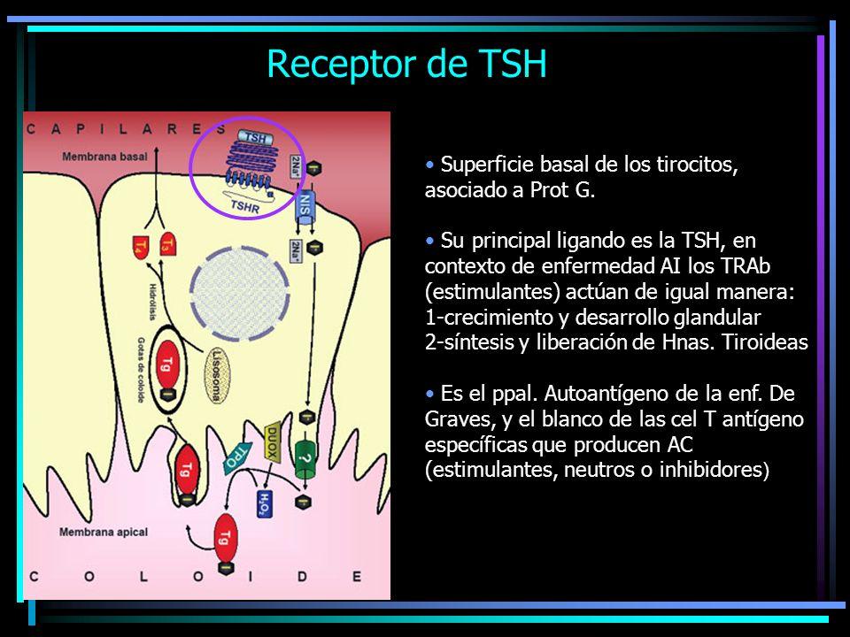 Expresión Extratiroidea del TSHR Fibroblastos y adipocitos orbitarios: TSH: + diferenciación temprana y + lipogénesis Cel del tejido óseo: TSH: + diferenciación del osteoblasto - Diferenciación del osteoclasto