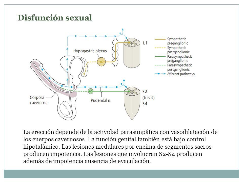 Disfunción sexual La erección depende de la actividad parasimpática con vasodilatación de los cuerpos cavernosos. La función genital también está bajo