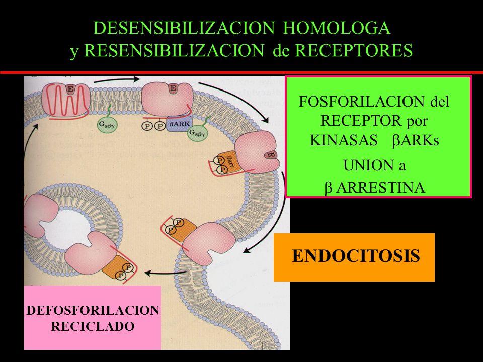 DESENSIBILIZACION HOMOLOGA y RESENSIBILIZACION de RECEPTORES DEFOSFORILACION RECICLADO FOSFORILACION del RECEPTOR por KINASAS ARKs UNION a ARRESTINA ENDOCITOSIS