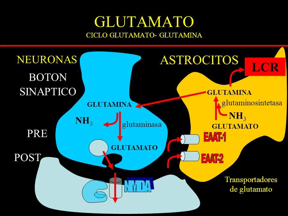 GLUTAMATO CICLO GLUTAMATO- GLUTAMINA ASTROCITOS GLUTAMATO BOTON SINAPTICO PRE POST GLUTAMINA GLUTAMATO GLUTAMINA NH 3 Transportadores de glutamato glutaminasa glutaminosintetasa NEURONAS LCR