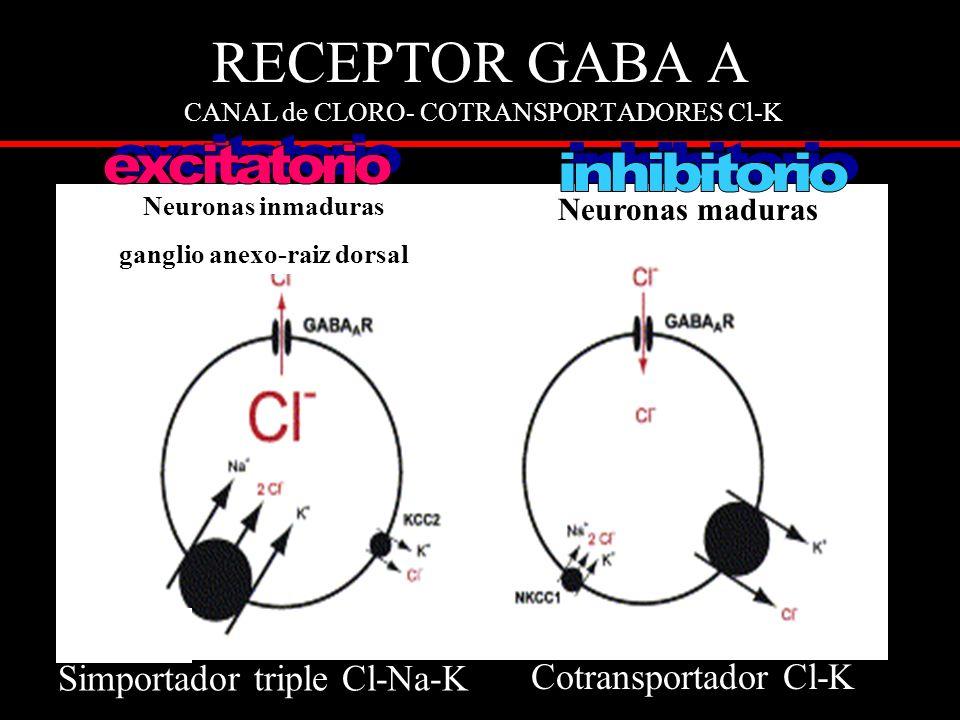 RECEPTOR GABA A CANAL de CLORO- COTRANSPORTADORES Cl-K Neuronas maduras Neuronas inmaduras ganglio anexo-raiz dorsal Simportador triple Cl-Na-K Cotransportador Cl-K