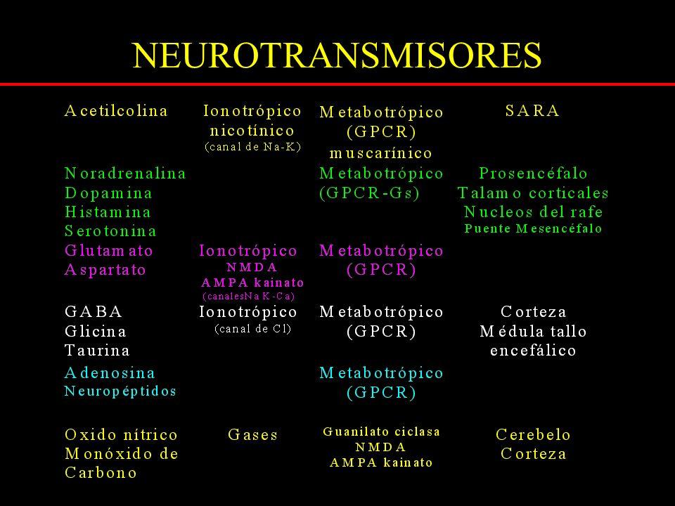 NEUROTRANSMISORES EXCITATORIOS aminoácidos dicarboxílicos Glutamino sintetasa Glutaminasa ASPARTATOGLUTAMATOGLUTAMINA