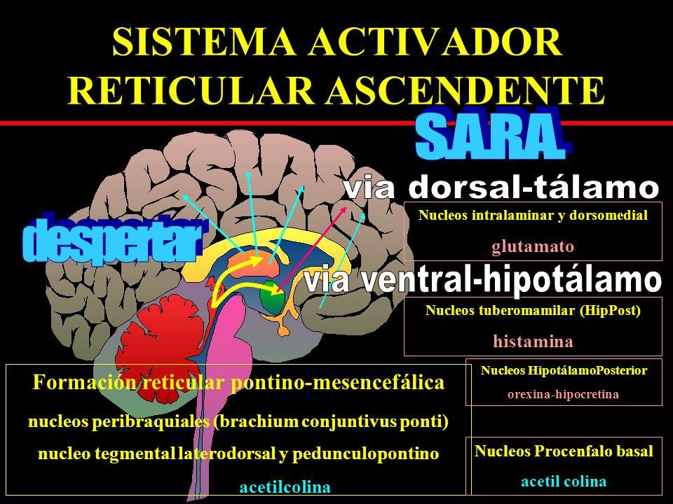 SISTEMA ACTIVADOR RETICULAR ASCENDENTE Formación reticular pontino-mesencefálica nucleos peribraquiales (brachium conjuntivus ponti) nucleo tegmental laterodorsal y pedunculopontino acetilcolina Nucleos intralaminar y dorsomedial glutamato Nucleos tuberomamilar (HipPost) histamina Nucleos HipotálamoPosterior orexina-hipocretina Nucleos Procenfalo basal acetil colina