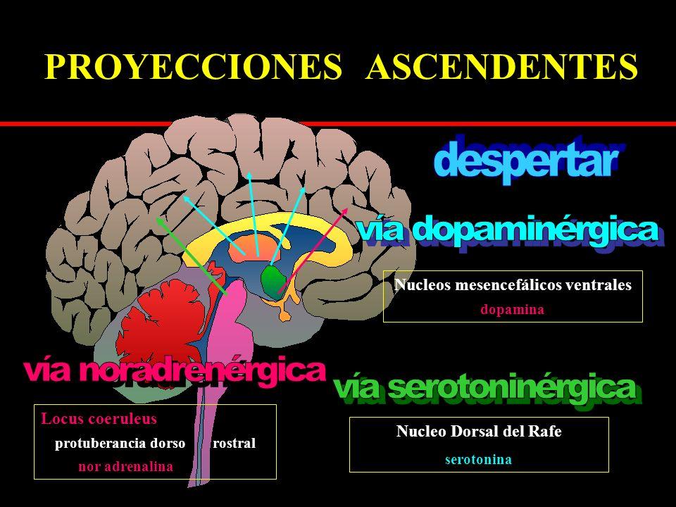 PROYECCIONES ASCENDENTES Locus coeruleus protuberancia dorso rostral nor adrenalina Nucleos mesencefálicos ventrales dopamina Nucleo Dorsal del Rafe serotonina