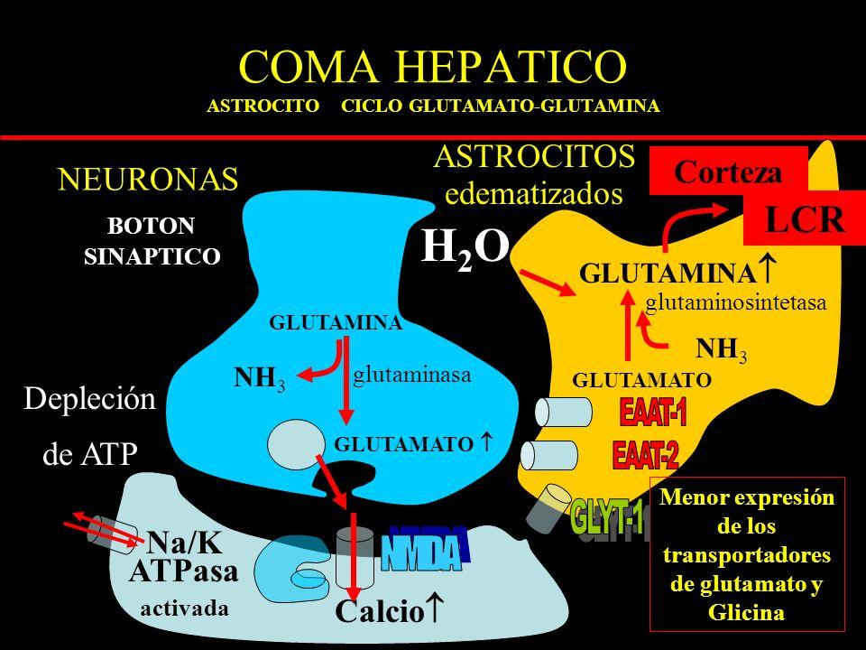 COMA HEPATICO ASTROCITO CICLO GLUTAMATO-GLUTAMINA ASTROCITOS edematizados GLUTAMATO BOTON SINAPTICO GLUTAMINA GLUTAMATO GLUTAMINA NH 3 Menor expresión de los transportadores de glutamato y Glicina glutaminasa glutaminosintetasa NEURONAS LCR Calcio Corteza Na/K ATPasa activada H2OH2O Depleción de ATP