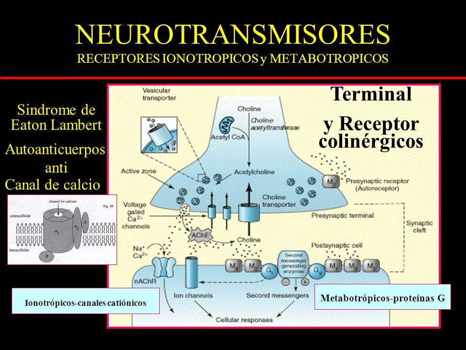NEUROTRANSMISORES RECEPTORES IONOTROPICOS y METABOTROPICOS Terminal y Receptor colinérgicos Metabotrópicos-proteínas G Ionotrópicos-canales catiónicos Sindrome de Eaton Lambert Autoanticuerpos anti Canal de calcio