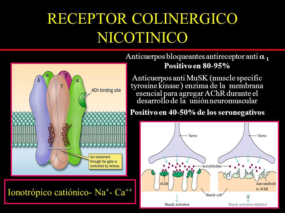 Anticuerpos bloqueantes antireceptor anti 1 Positivo en 80-95% Anticuerpos anti MuSK (muscle specific tyrosine kinase ) enzima de la membrana esencial para agregar AChR durante el desarrollo de la unión neuromuscular Positivo en 40-50% de los seronegativos RECEPTOR COLINERGICO NICOTINICO Ionotrópico catiónico- Na + - Ca ++