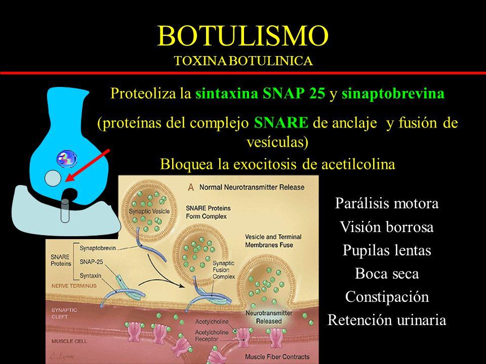 BOTULISMO TOXINA BOTULINICA BOTON SINAPTICO COLINERGI CO POST GLUTAMA TO Parálisis motora Visión borrosa Pupilas lentas Boca seca Constipación Retención urinaria Proteoliza la sintaxina SNAP 25 y sinaptobrevina (proteínas del complejo SNARE de anclaje y fusión de vesículas) Bloquea la exocitosis de acetilcolina