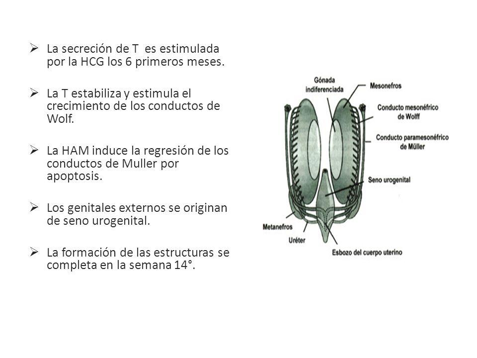 La secreción de T es estimulada por la HCG los 6 primeros meses. La T estabiliza y estimula el crecimiento de los conductos de Wolf. La HAM induce la