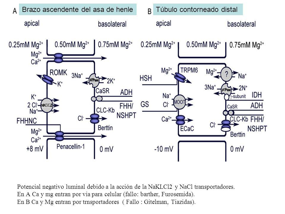 Potencial negativo luminal debido a la acción de la NaKLCl2 y NaCl transportadores. En A Ca y mg entran por via para celular (fallo: barther, Furosemi