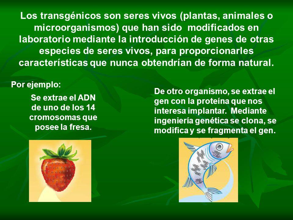 Los transgénicos son seres vivos (plantas, animales o microorganismos) que han sido modificados en laboratorio mediante la introducción de genes de ot