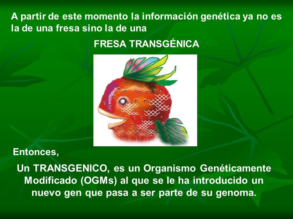Impacto y peligro de los transgénicos b) E n la biodiversidad El uso masivo de los cultivos transgénicos amenaza la diversidad biológica y la vida en general, produciendo diversas consecuencias entre las que podemos mencionar: La contaminación de especies tradicionales o nativas