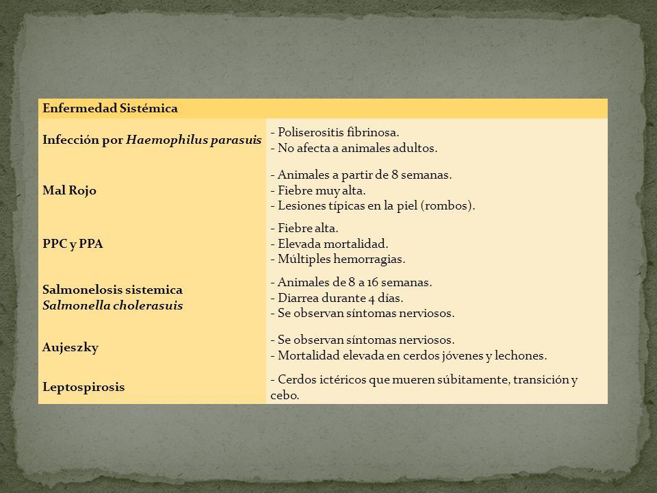 Enfermedad Sistémica Infección por Haemophilus parasuis - Poliserositis fibrinosa. - No afecta a animales adultos. Mal Rojo - Animales a partir de 8 s