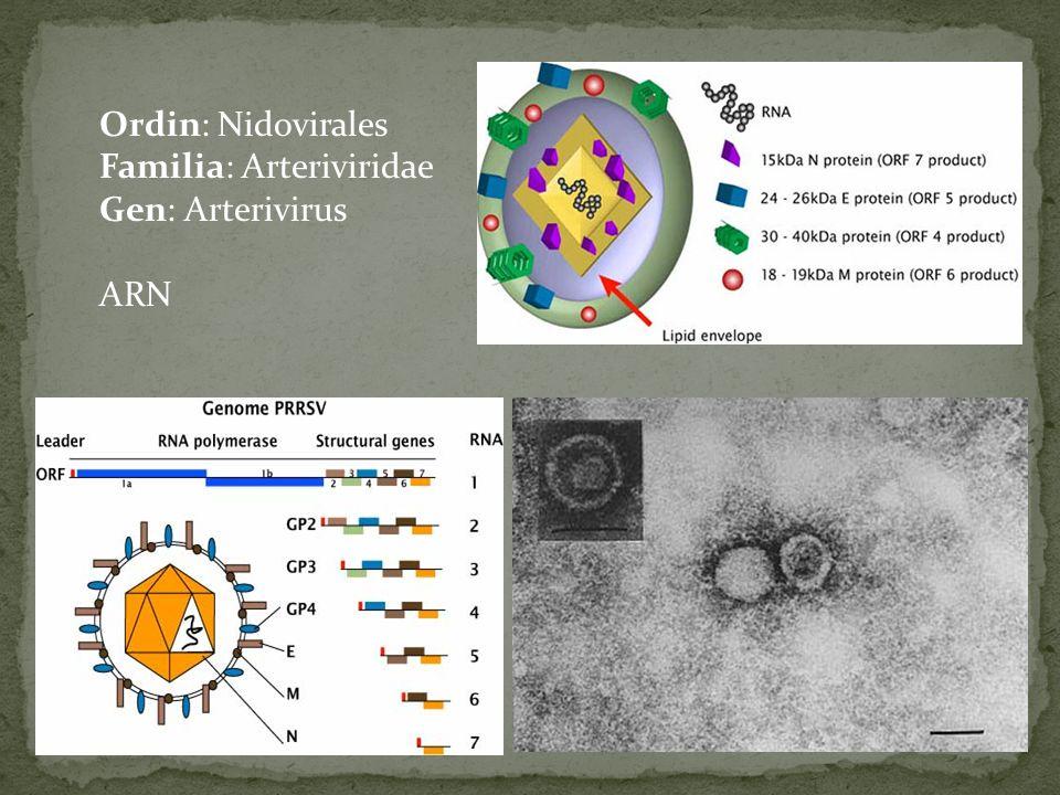 Ordin: Nidovirales Familia: Arteriviridae Gen: Arterivirus ARN