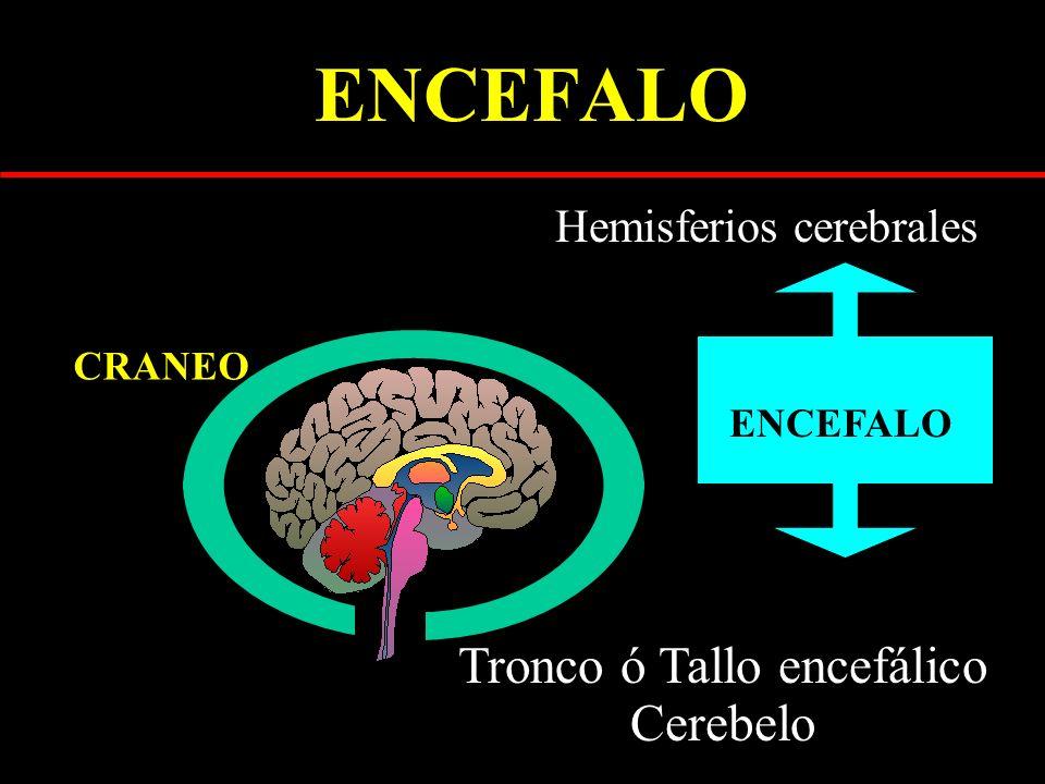 ENCEFALO Hemisferios cerebrales Tronco ó Tallo encefálico Cerebelo CRANEO ENCEFALO