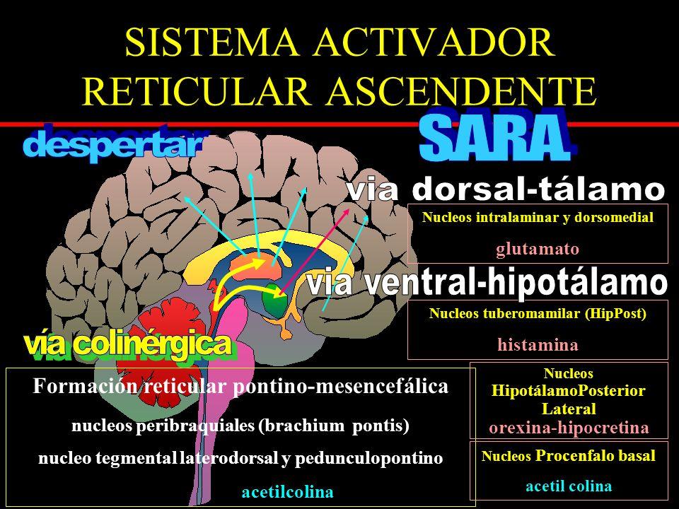 SISTEMA ACTIVADOR RETICULAR ASCENDENTE Formación reticular pontino-mesencefálica nucleos peribraquiales (brachium pontis) nucleo tegmental laterodorsa