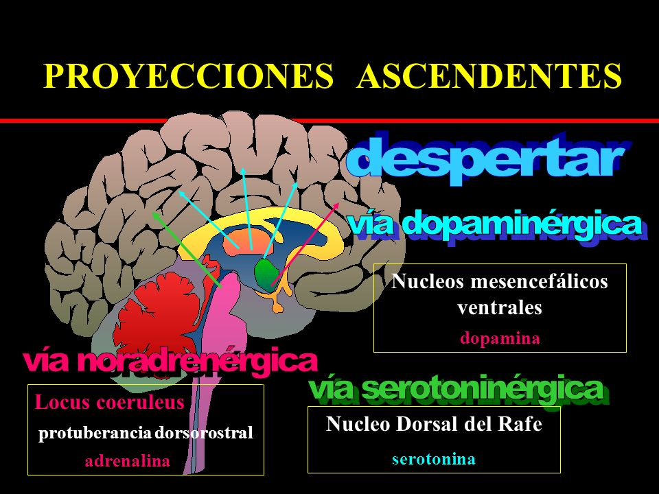PROYECCIONES ASCENDENTES Locus coeruleus protuberancia dorsorostral adrenalina Nucleos mesencefálicos ventrales dopamina Nucleo Dorsal del Rafe seroto