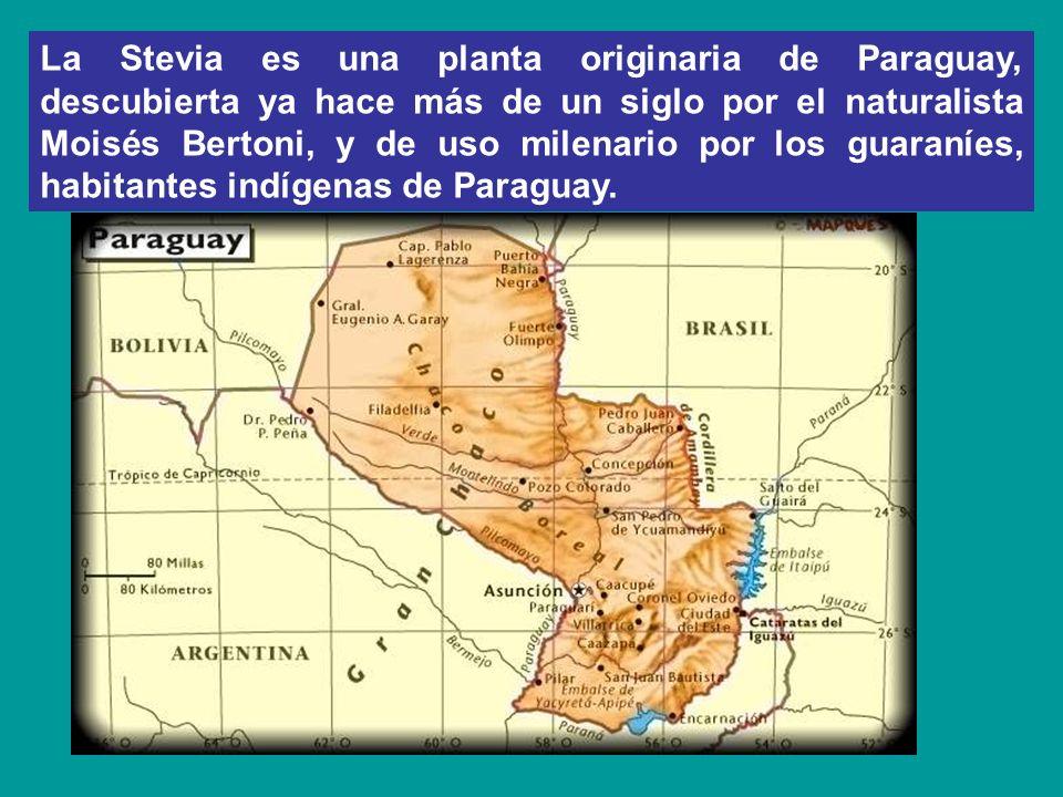 La Stevia es una planta originaria de Paraguay, descubierta ya hace más de un siglo por el naturalista Moisés Bertoni, y de uso milenario por los guar