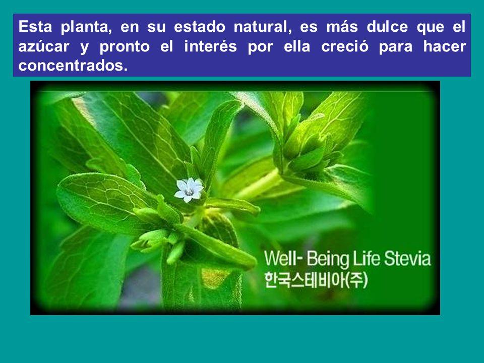 Esta planta, en su estado natural, es más dulce que el azúcar y pronto el interés por ella creció para hacer concentrados.