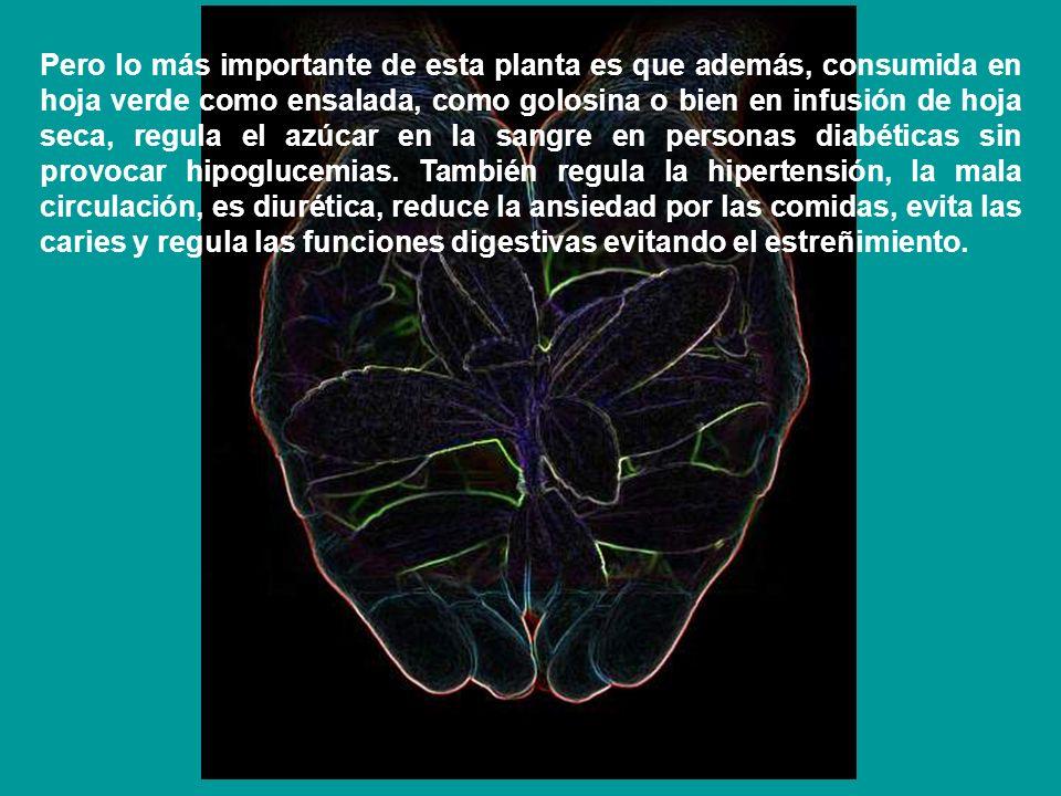 Pero lo más importante de esta planta es que además, consumida en hoja verde como ensalada, como golosina o bien en infusión de hoja seca, regula el a