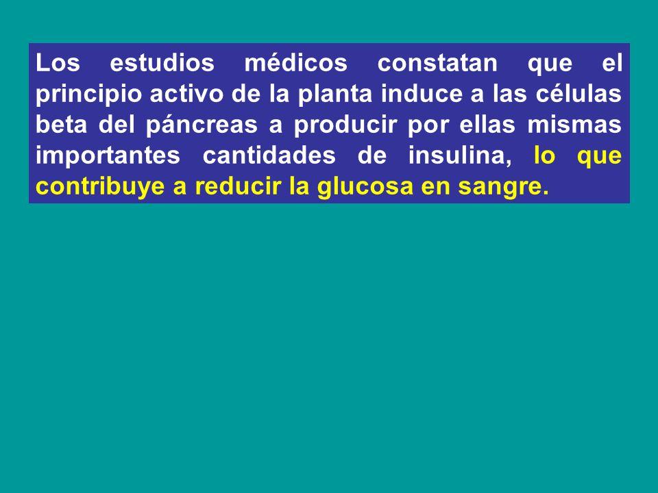 Los estudios médicos constatan que el principio activo de la planta induce a las células beta del páncreas a producir por ellas mismas importantes can