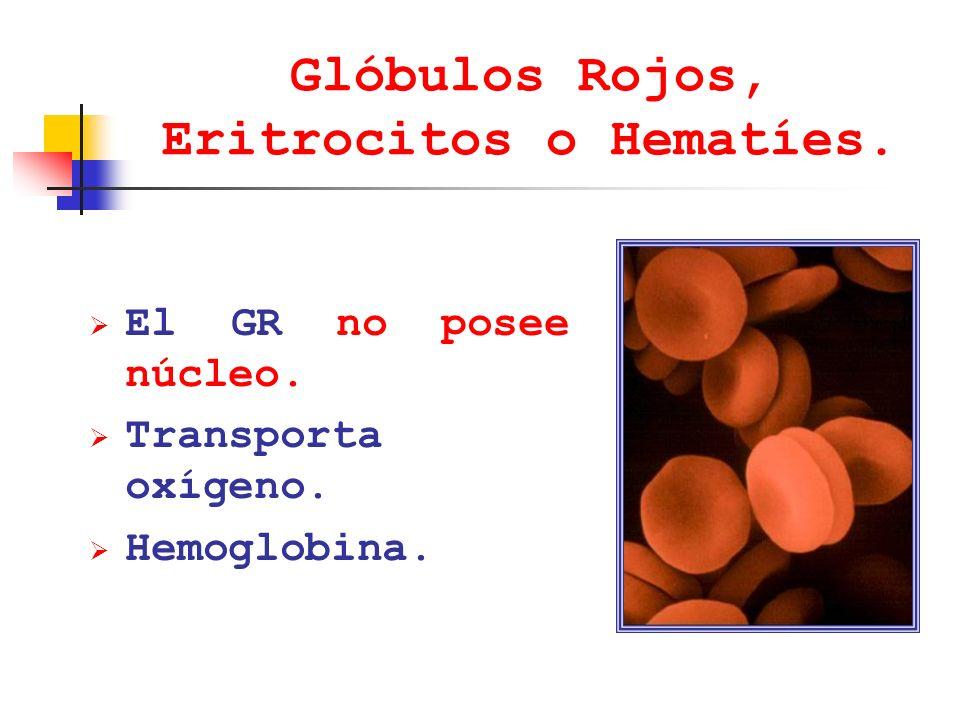 Glóbulos Rojos, Eritrocitos o Hematíes. El GR no posee núcleo. Transporta oxígeno. Hemoglobina.