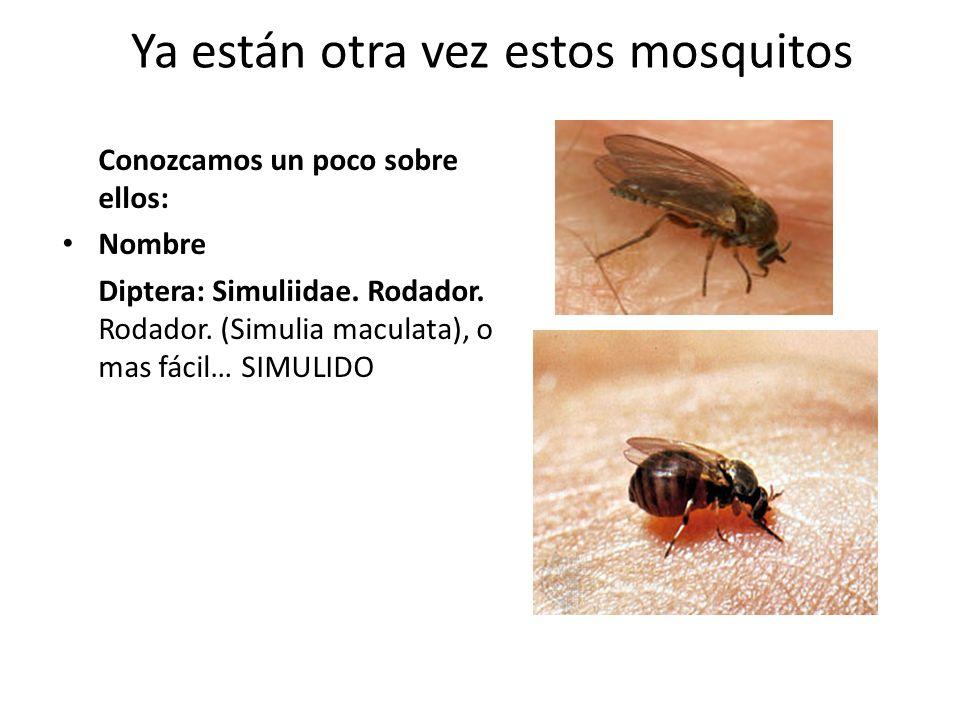 Ya están otra vez estos mosquitos Conozcamos un poco sobre ellos: Nombre Diptera: Simuliidae. Rodador. Rodador. (Simulia maculata), o mas fácil… SIMUL