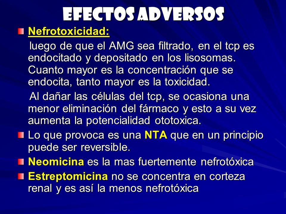 Efectos adversos Nefrotoxicidad: luego de que el AMG sea filtrado, en el tcp es endocitado y depositado en los lisosomas. Cuanto mayor es la concentra