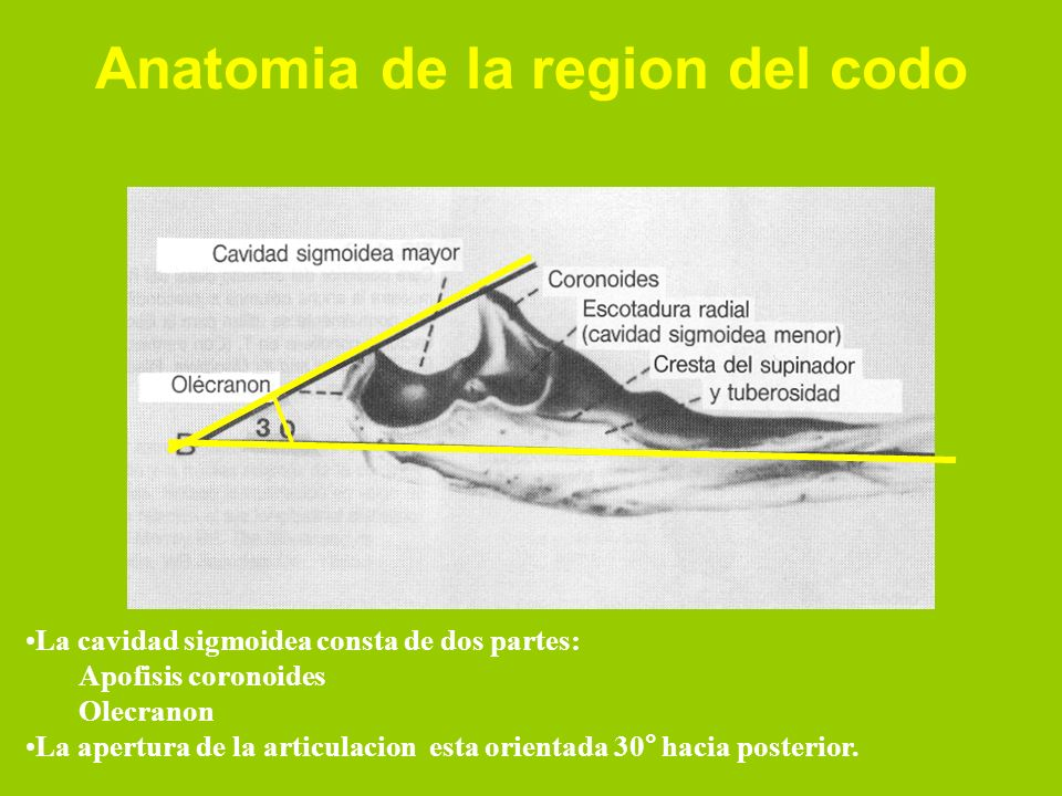 La cavidad sigmoidea consta de dos partes: Apofisis coronoides Olecranon La apertura de la articulacion esta orientada 30° hacia posterior. Anatomia d