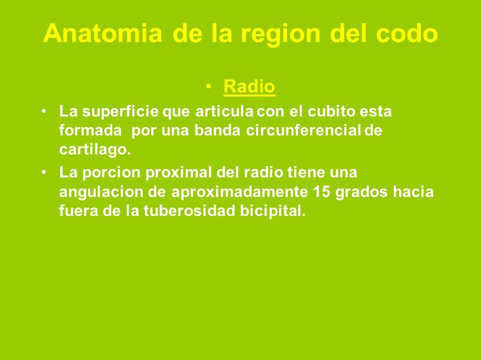 Radio La superficie que articula con el cubito esta formada por una banda circunferencial de cartilago. La porcion proximal del radio tiene una angula
